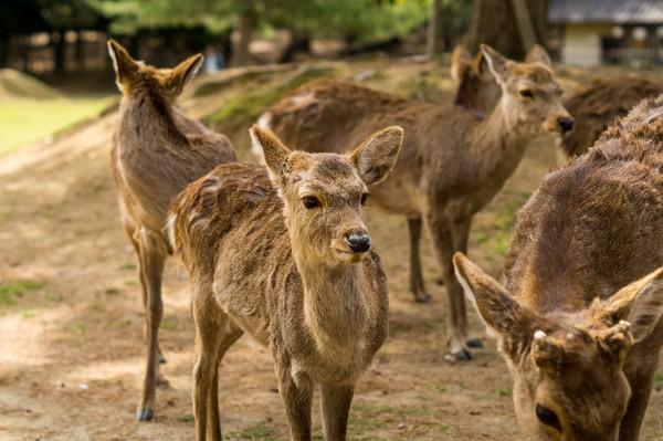 ▲▼ 奈良鹿。(圖/取自免費圖庫Pixabay)