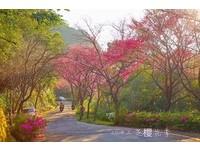▲三芝櫻花季。(圖/新北市三芝區公所提供)