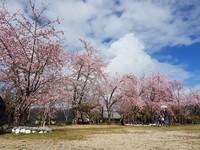 ▲拉拉山恩愛農場櫻花季。(圖/翻攝自Facebook/恩愛農場)