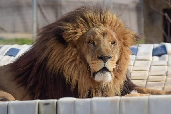 8只麻醉镖放不倒狮子 动物园22岁女员工遭咬颈断命