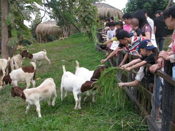 寿山动物园的波尔羊因儿童牧场整修暂时搬家与斑马当邻居.