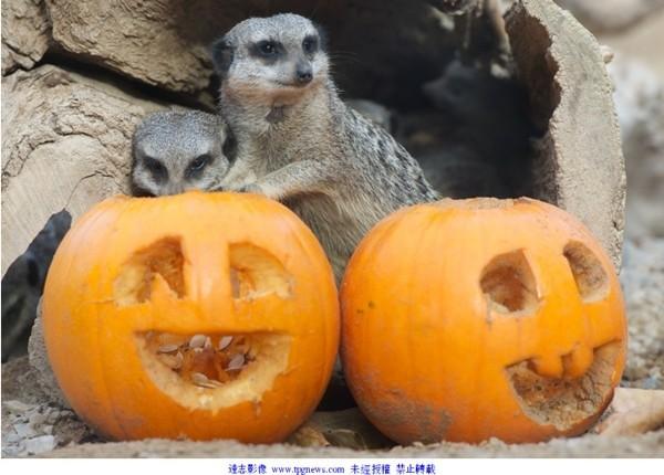 英国伦敦动物园就将南瓜刻上各种生动表情,款待这些小动物们.