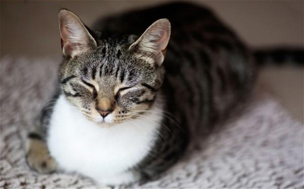 猫咪「呼噜声」有可能是压力大 一直以来都会错意了?图片
