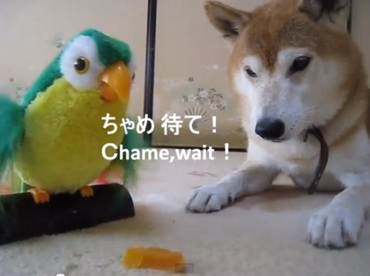 不过站在动物行为的立场,让狗狗从小接触一些声控玩具,有助於社会化