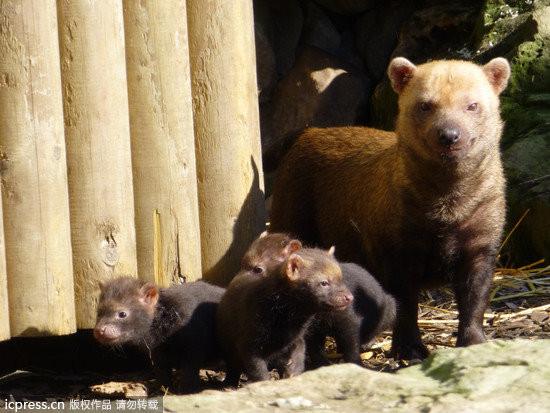 英国动物园喜迎薮犬宝宝