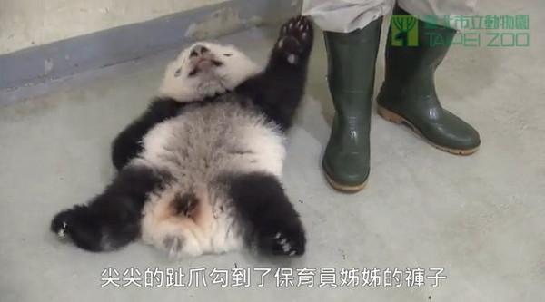 但小动物会玩大便是正常现象, 大猫熊的食物主要是竹叶,竹杆和竹笋等