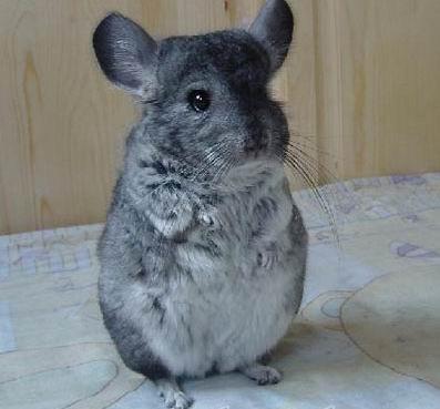 假发子有和酸酸们分享过超级可爱的宠物,那就是俗称「龙猫」的毛丝鼠