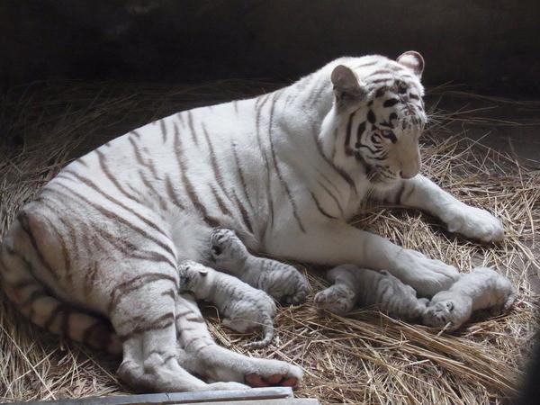 刚出生的可爱小白虎,正在喝妈妈的奶