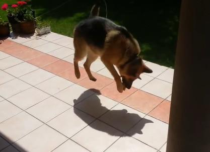 你是谁?小狗跳起来猛踩 和自己的影子玩了起来