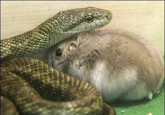 原本想丢仓鼠餵蛇.没想到它们却变成好朋友