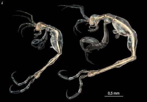 惊悚「骷髅虾」 加州近海发现新种甲壳动物