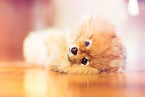 毛茸茸的博美犬超萌眼神融化你,看过它的人都忍不住惊呼!