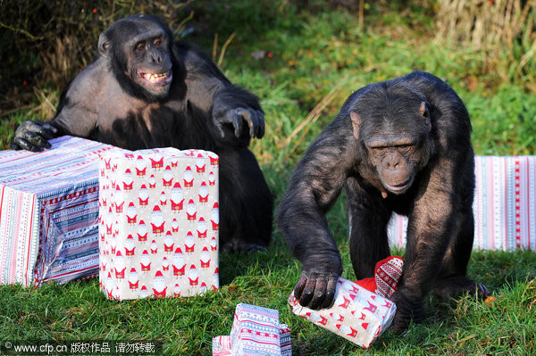 黑猩猩拆完耶诞礼物 对著镜头狂笑 | 宠物动物 | 东森