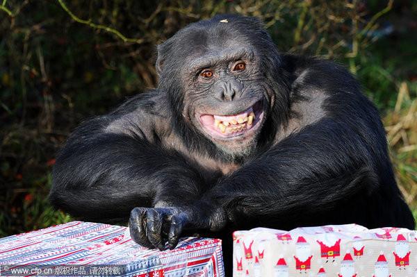 黑猩猩拆完耶诞礼物 对著镜头狂笑