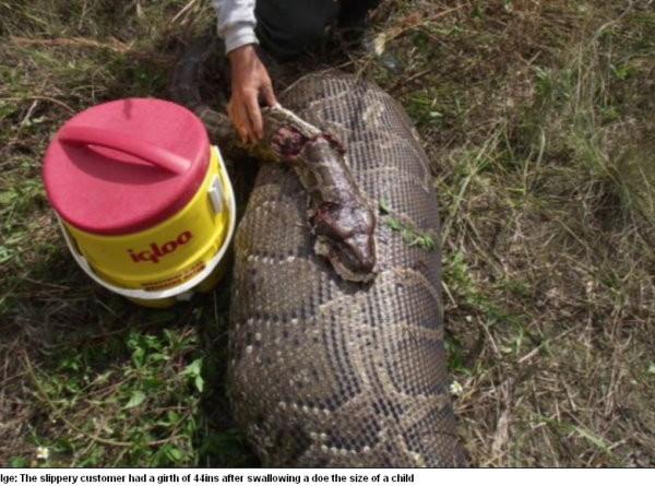 ▼美国佛州捕获一条超大蟒蛇,剖开肚子后发现有只35公斤的母鹿.