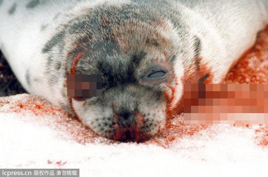 加拿大聖勞倫斯一隻被獵殺的格陵蘭海豹。(圖/東方IC) 國際中心/綜合報導 美國駐日本大使卡羅琳.甘迺迪近日在個人推特(Twitter)上,使用日、英雙語,嚴厲指責日本和歌山縣太地町的傳統漁業「圍捕海豚」,公開反對這種不人道的圍捕行為。此外,更多的獵殺動物照片,充分展現了人類貪婪凶殘的一面。(看更多~人類貪婪的一面) 和歌山縣太地町地區捕豚季從9月持續至次年3月,漁民每年把數以百計的海豚趕入海灣並捕殺,動物保護團體嚴厲指責這種捕魚方式太殘忍,當地漁民則堅稱這是傳統,不會有任何改變。此事近日遭美駐日本大使