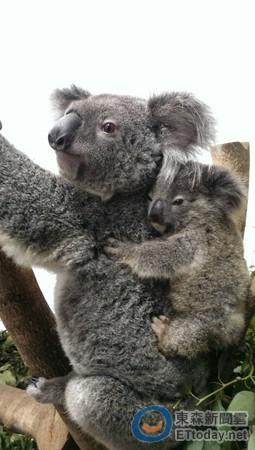 快讯/从妈妈胸前掉落 北市动物园无尾熊宝宝走了