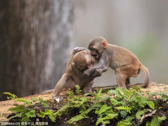 宠物动物 宠物 2014年03月7日 23:16  两只小猴子在爸爸妈妈的密切