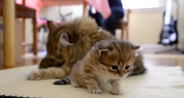 我也要啦!小猫翻身挥手撒娇 猫妈妈忘我舔毛不甩