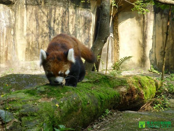 ettoday旅游云 动物奇闻  来自日本多摩动物园的小猫熊明星「阿畅」