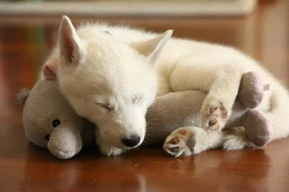 文/喪女 抱著娃娃彷彿有種治癒作用,還能帶來安心感,所以喪女床上也擺了不少娃娃和小抱枕,而這些軟綿綿的娃娃們,似乎不只為人們帶來安心、也為這些幼犬小毛頭們提供安全感,看這些小傢伙依偎在娃娃邊的模樣,總覺得快忍不住尖叫了!! 噢你們真是可愛的兩兄弟  抱著企鵝娃娃,夢到了什麼呢?  睡夢中總是有你陪  我的胡蘿蔔娃娃是馬麻在超市買的~  咦?有人跟我一樣、覺得超像《進擊的巨人》裡的褐色制服嗎?(背著立體機動裝置)  親愛的,夢到你最愛的小泰迪了嗎?  這根本是這隻小傢伙的mini-me啊>////&l