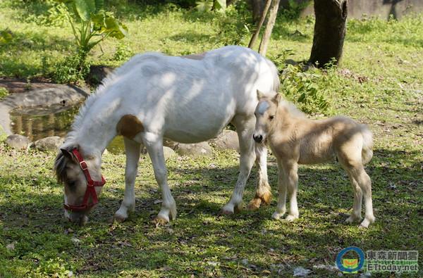 ▼北市动物园迷你马小公马与妈妈亮相了.(图/台北市立动物园提供)
