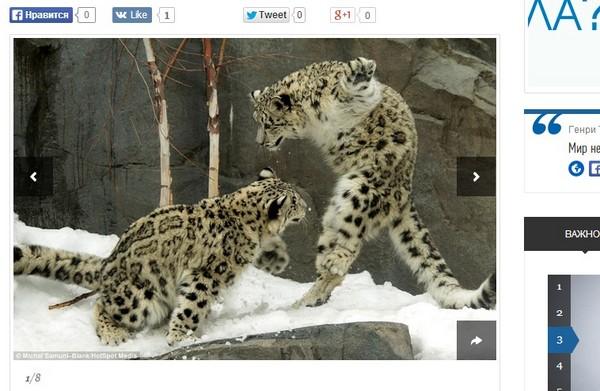 动物学家赴美捕捉珍贵镜头 雪豹打闹瞬间宛如功夫电影