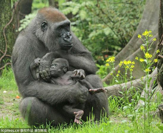 虽说小猩猩「好狰狞」,但能拍摄到小猩猩的可爱模样,让山米妮布朗克