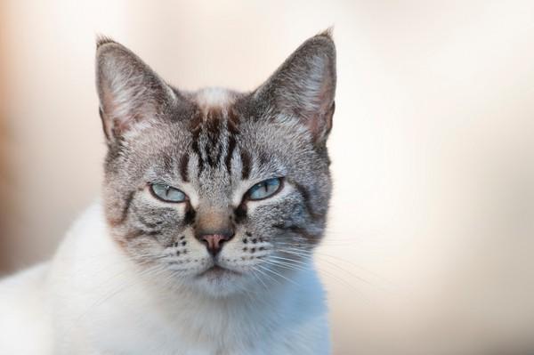 貓。(圖/達志影像/示意圖)