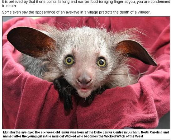 马达加斯加岛屿传说只要看到指猴,必定召来噩运.(图/翻摄每日邮报)