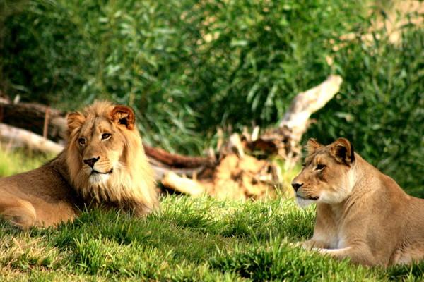 狮子可是动物园里的人气明星之一.(图/取自网路)
