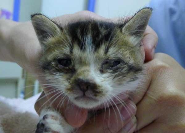 图1:感染猫疱疹病毒的小猫,出现黄绿色的眼鼻分泌物,因为严重的感染