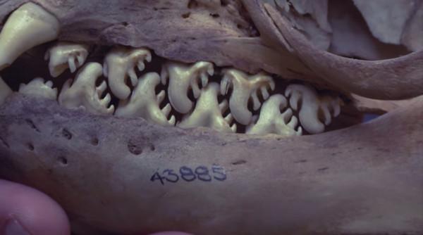 看看食蟹海豹 令人做噩梦的牙齿!