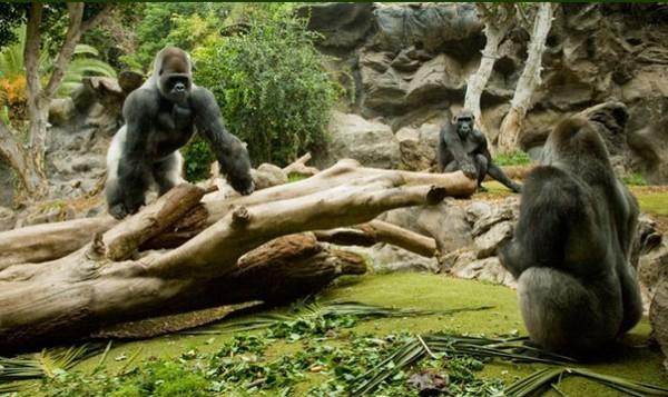 员工扮大猩猩中麻醉镖?西班牙动物园:他睡了很久