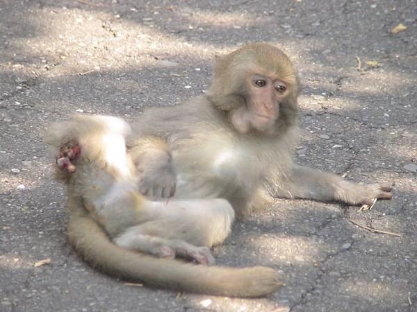 長期關懷台灣獼猴生態的中山大學博士生林美吟,去電胡雲鵬了解事發經過,並在隔天20日上午重回事發現場,她表示,與父親「獼猴爸爸」林金福沿路上山尋找挨打的雄猴社群,但都一無所獲,雄猴生死未卜。 「同一地點,獼猴已不只一次被人類傷害了。」林美吟說,壽山的台灣獼猴各社群幾乎都有斷手斷腳的「殘障」個體,全是人為的傷害造成,「也許你想像中的台灣獼猴很壞、很兇、會攻擊人,但是也請大家丟開這些成見看一看台灣獼猴真正的處境。」 一隻台灣獼猴遭「當頭棒喝」了,能打醒台灣長期對生態教育的輕忽嗎? 以下,是《ETtoday東森新