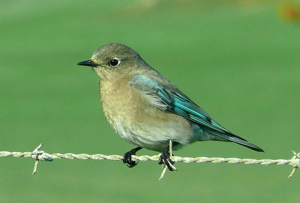 不用ps就超梦幻的青鸟 山地蓝知更鸟连蛋都是湖水蓝色