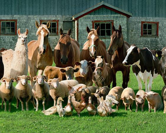 提到農場,身為一個阿宅的本凹就會想到荒川牛老師最新的作品銀之匙。這個故事背景在日本畜牧業大縣北海道地區,裡面講述著農業高中的學生如何度過他們的每一天,其中漫畫及動畫裡面教會我們的,是當地的農人們如何對待農場中所有生命,以及該如何生活下去的態度。  美國一名攝影師 Rob MacInnis應該就是深諳銀之匙所要傳達宗旨的人。Rob之前到農場參觀時,他認為農莊裡面的動物其實也應該得到應有的尊重與紀念,因此他為農場中所有的動物拍了一系列的團體照及個別沙龍照,攝影集名稱就叫做The Farm Family。