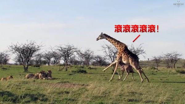 长颈鹿妈妈肉身护子 猛踹长腿吓跑狮群   宠物动物