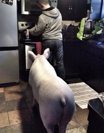 小小可爱粉红宠物猪,在主人细心照顾变成180公斤大肥猪?