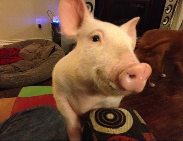 小小可愛粉紅寵物豬,在主人細心照顧變成180公斤大肥豬?