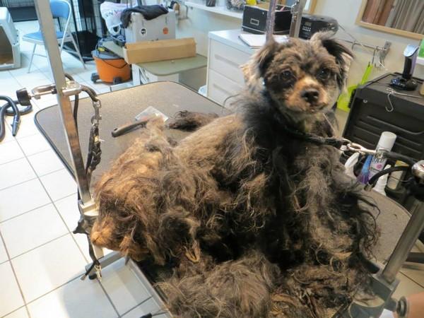 「拖把狗」剃掉一身蓬松乱毛 里面居然藏了一只小可爱