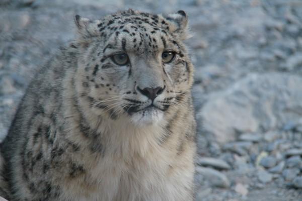 目前,这对两个月大的雪豹宝宝已顺利度过产后危险期,各项身体指标稳定