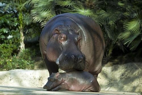 柏林动物园超可爱河马宝宝亮相