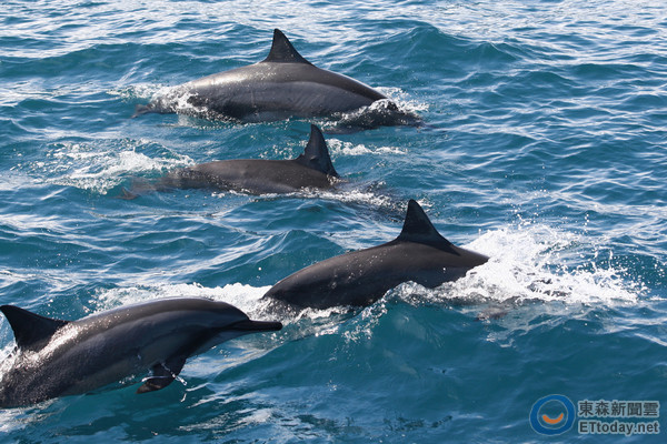 飞旋海豚是花莲外海常见的鲸豚类动物,热情的个性让他们非常受旅客