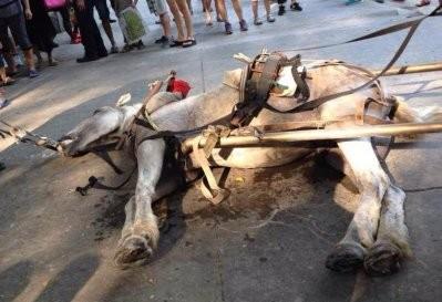 「十一长假」太操了?深圳动物园拉车白马半路暴毙