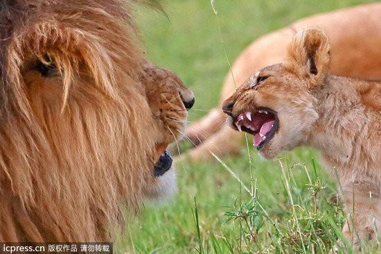 一只可爱的小狮子为了吸引自己爸爸的注意力,居然「太岁头上动土」