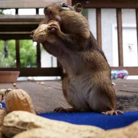 ▼松鼠们可爱又滑稽的觅食照.