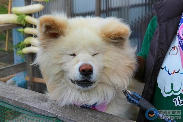 青森超人气明星犬