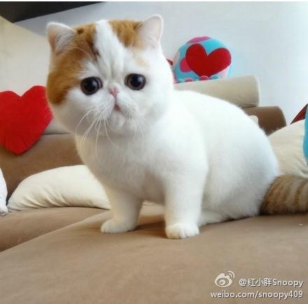 四川超萌加菲猫洗澡秀 「红小胖snoopy」萌翻10万粉丝