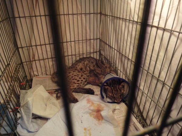 苗栗通霄3月曾传出2只保育类动物「石虎」遭车辆撞死的事件,没想到又